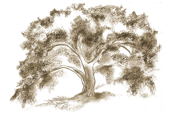 oak drawing